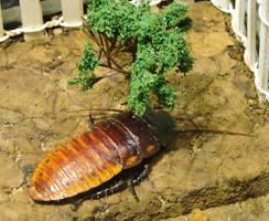 Hissing Cockroach by Tsisqua-Ugidali