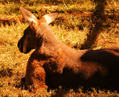 Kangaroo by Tsisqua-Ugidali
