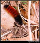 Wooly Bear Caterpillar by Tsisqua-Ugidali