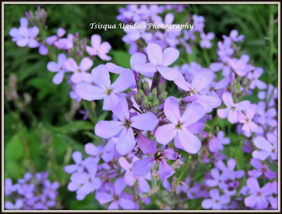Purple Fylox by Tsisqua-Ugidali
