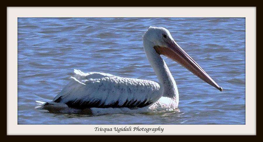 Pelican by Tsisqua-Ugidali