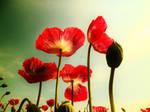 Poppy fields 7 by melrissbrook