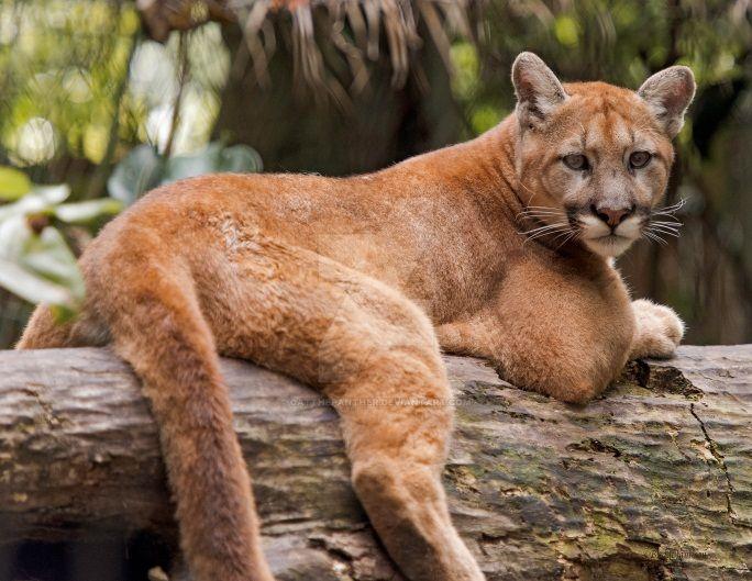big cat preserve