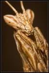 Praying Mantis III