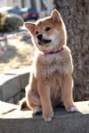 Puppy Hachiko