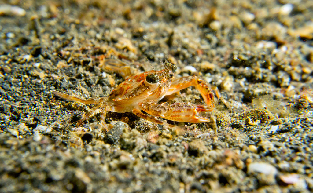 Crab by Holophite