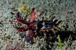 Flamboyant cuttlefish (Metasepia pfefferi) hunting