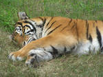 Snoozing Kittycat