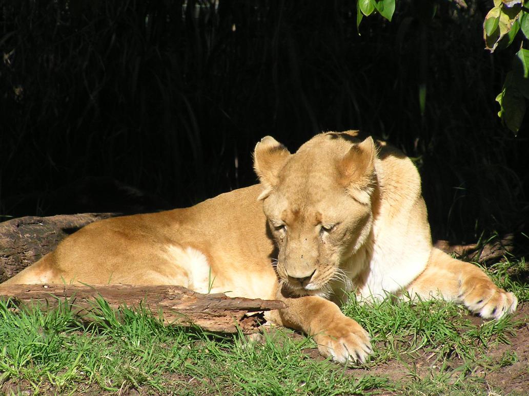 Lioness by ManyardButler