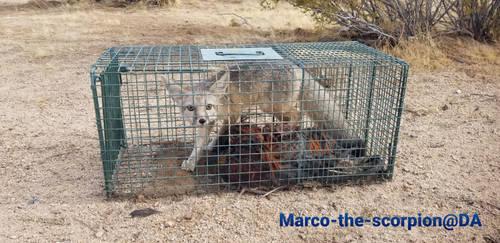 Desert Fox Been Caught!