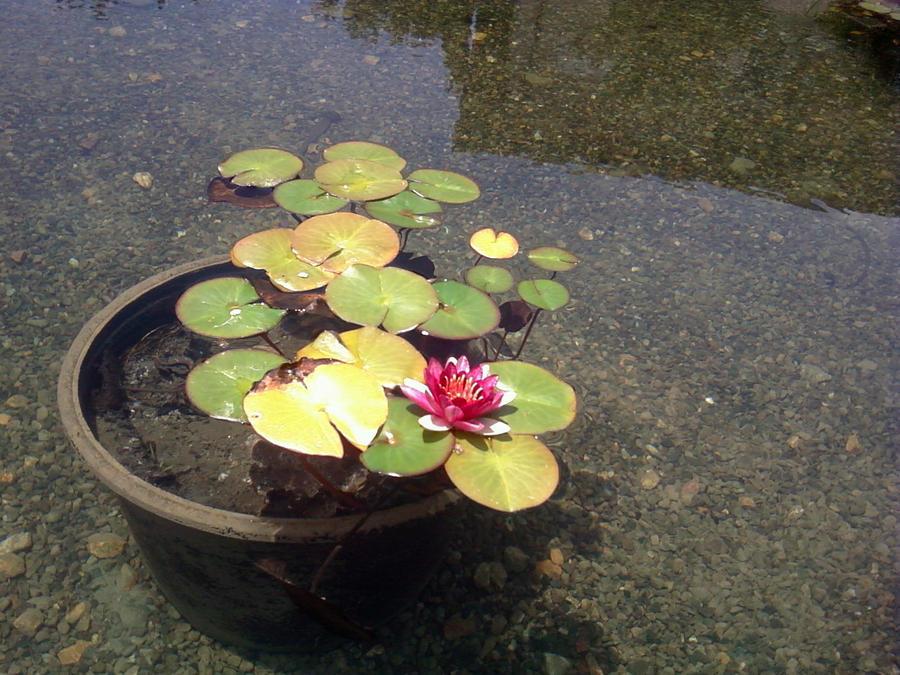 Lotus Pond Soka University 1 by LotusGirl717