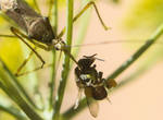Poor little bee became bug's lunch II