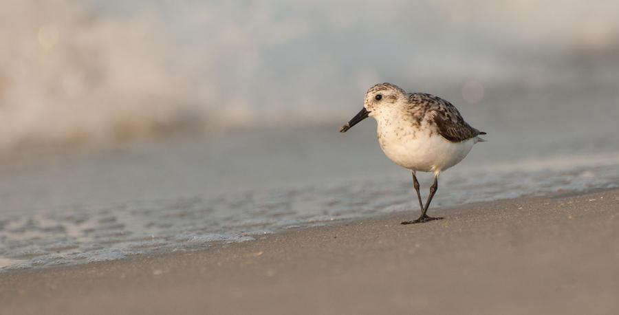 Seaside Sanderling by TheWinterWren