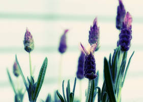Spanish Lavender Wallpaper by angelbabiau