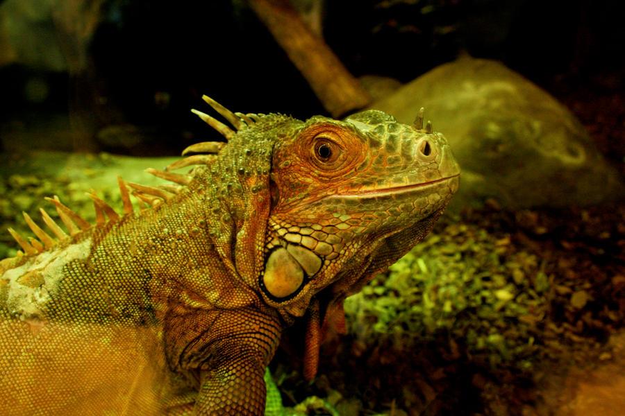 Iguana by Suckstobeyourgirl