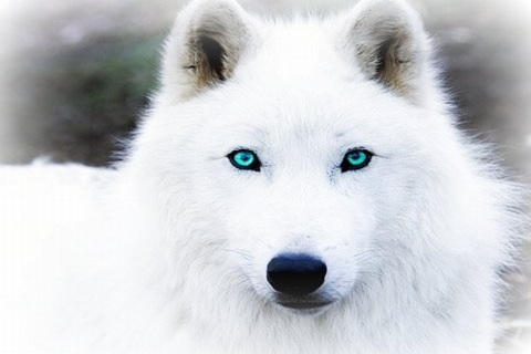 White wolf wallpaper with blue eyes - photo#7