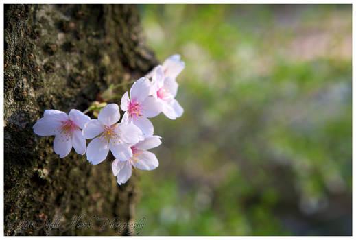 Emergent Sakura