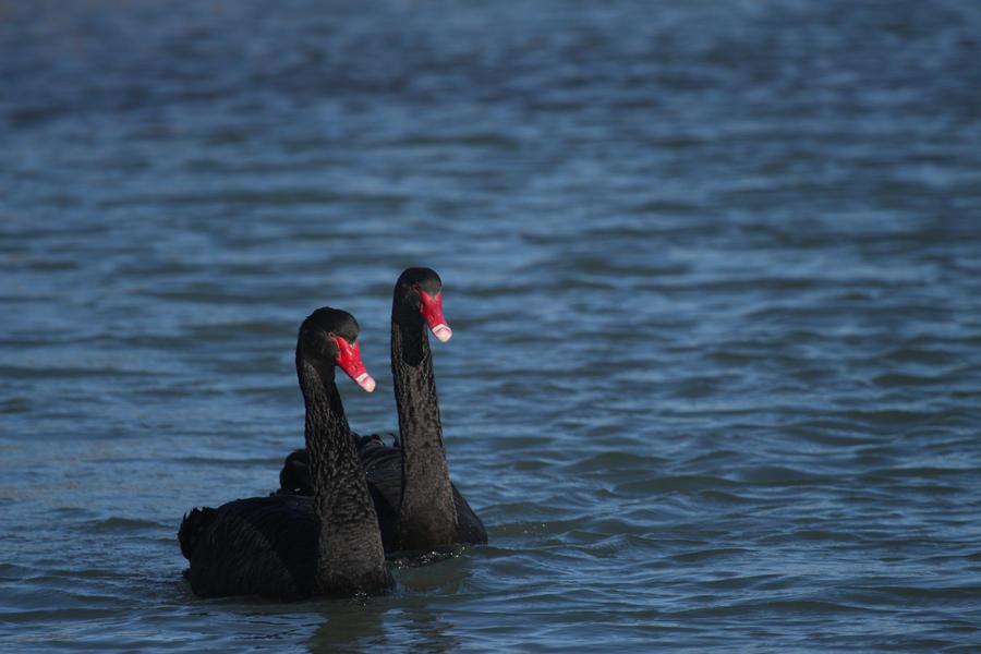 Black swans by Little-Vampire