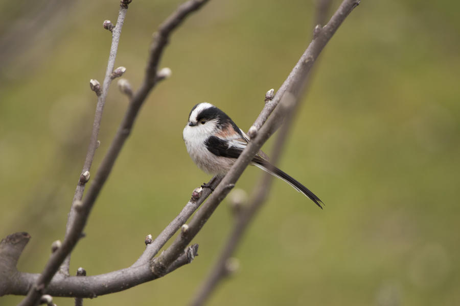 Long Tailed Tit by Little-Vampire