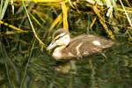Duckling by Little-Vampire