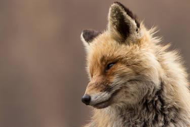 The fox secret