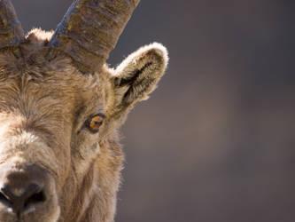 Capra Ibex by Little-Vampire