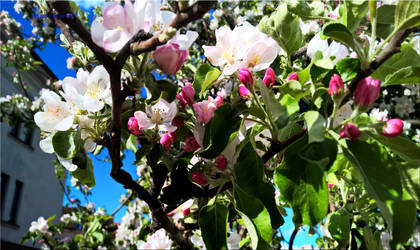 Apples Blosom by vytra