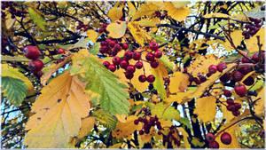 Autumn Red Berries