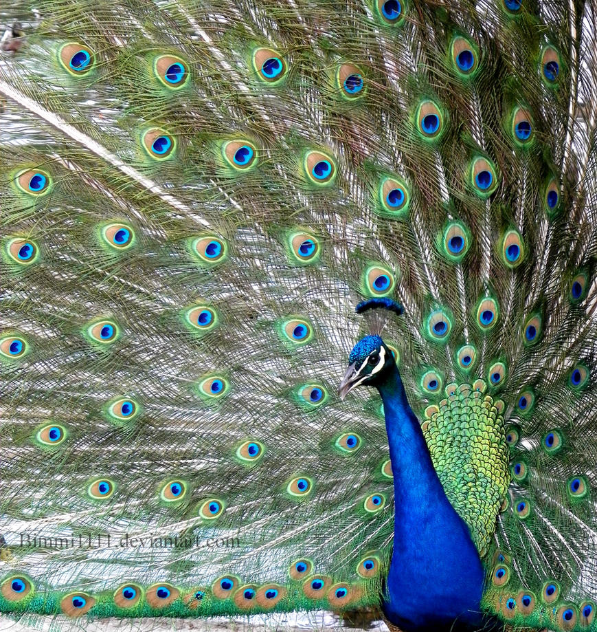 Peacock 2 by Bimmi1111