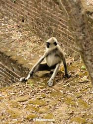 Toque macaque A.K.A Rilawa by CrazyNalin