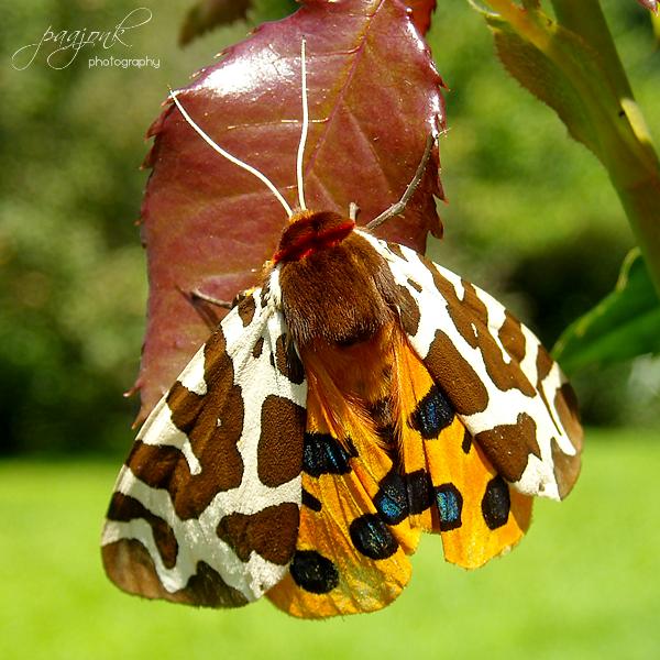 Beautiful moth by paajonk