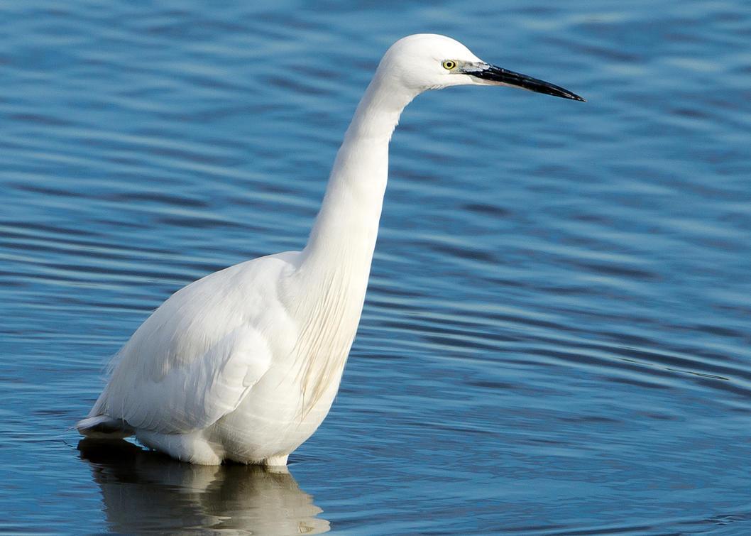 Little Egret by dog123456