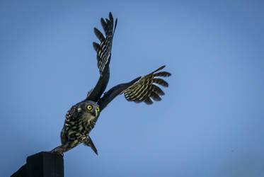 Barking owl taking flight