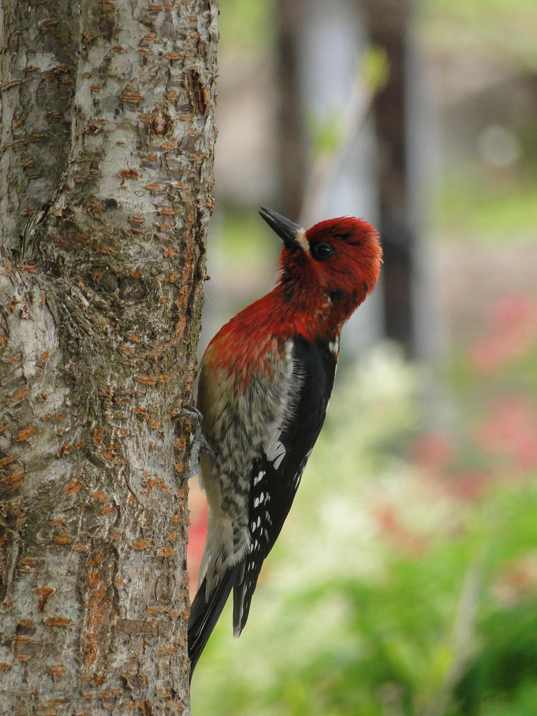 red__breasted_sapsucker_by_electric_mong