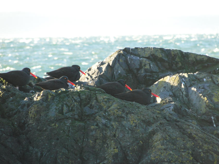 black_oystercatchers_by_electric_mongoos