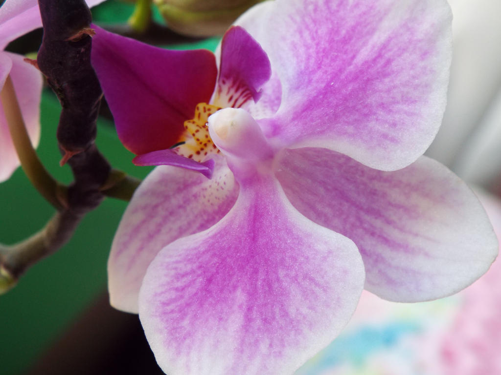 Orchid at Home by TsUmIwOlFpRiEsTeSs24