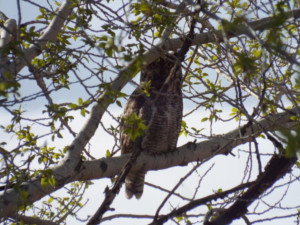Great Horned Aerial Predator by TsUmIwOlFpRiEsTeSs24