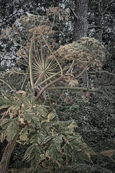 The beauty of giant hogweed