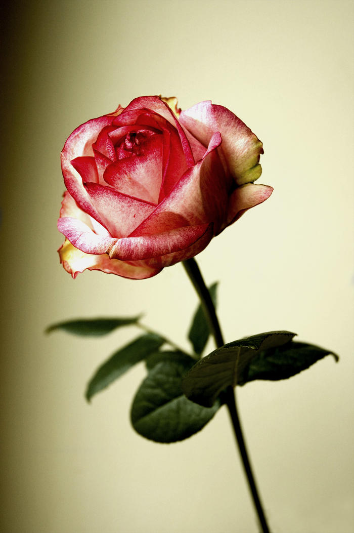 Rose by Almy