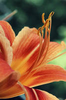 Lilium Flower by Grishnakh666