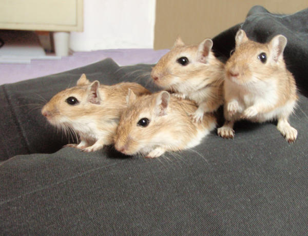 Four Little Gerbils by DebrisDB