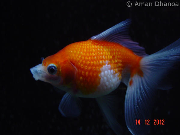 Crown pearlscale goldfish  WordReference Forums