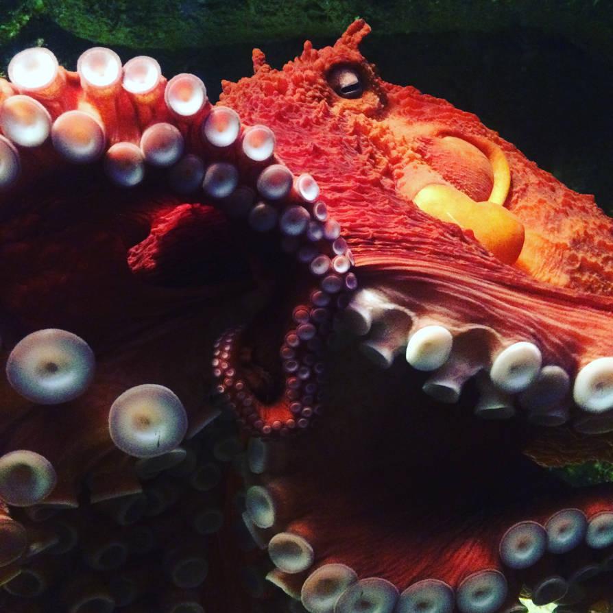 Enteroctopus dofleini, Giant Pacific Octopus by BlueCea