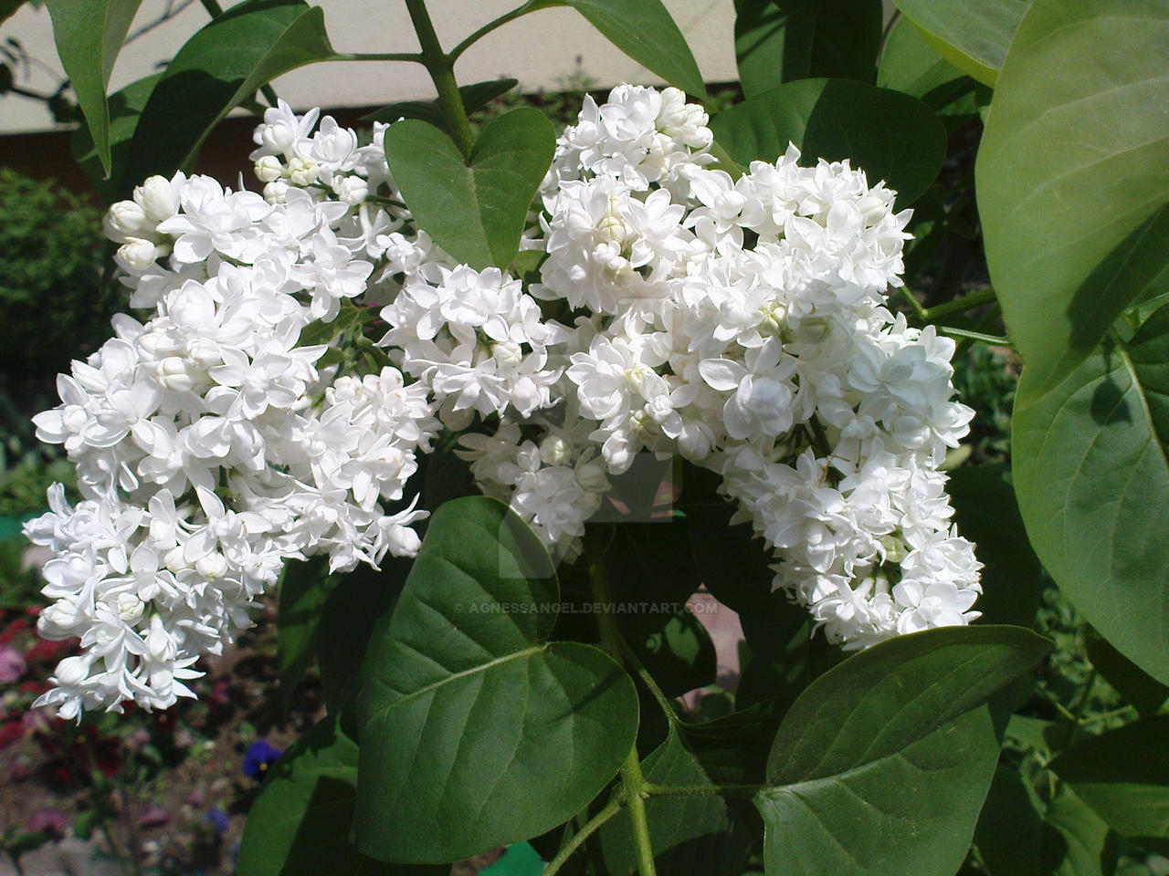 Lilac syringa vulgaris by agnessangel on deviantart - Syringa vulgaris ...