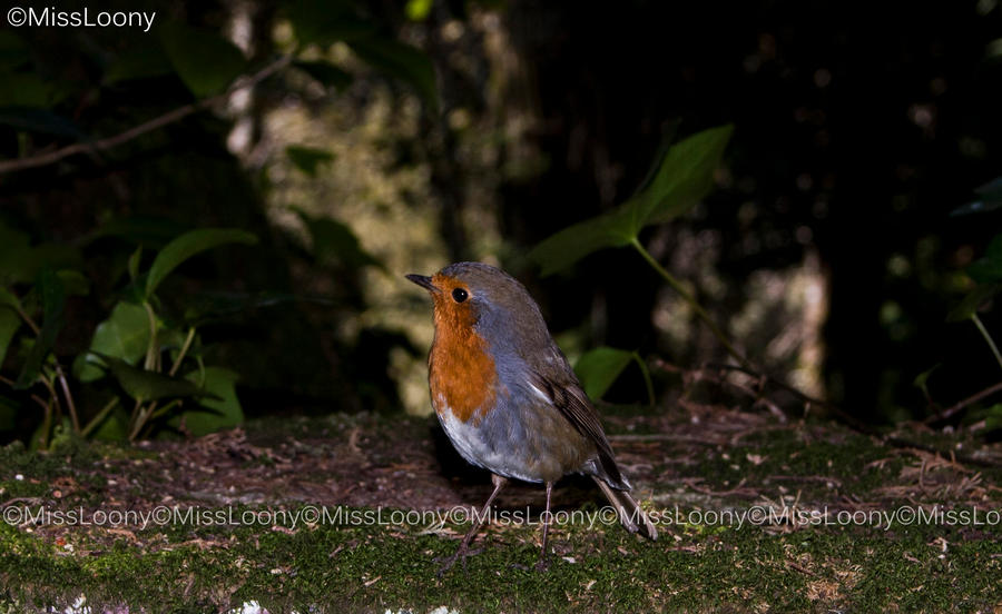 Curious Robin by MissLoony