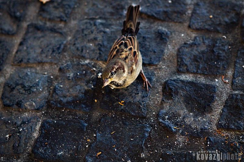 sparrow by kovazg