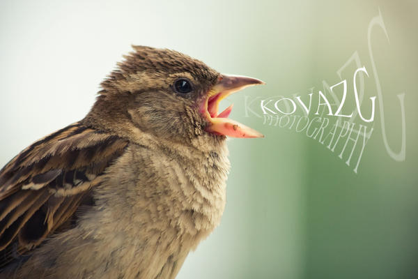 sparrow II by kovazg