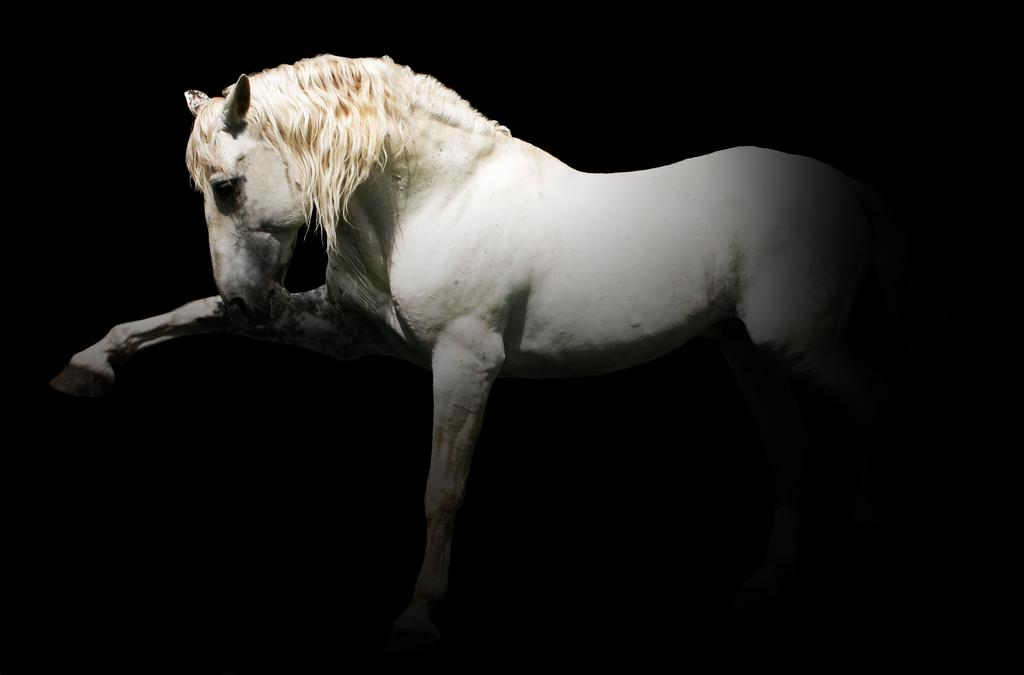 Puntal V - PRE Stallion by ChasefordCharisma