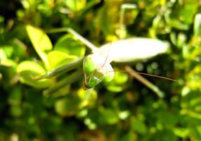Praying Mantis by Frostola