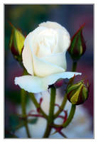 White Rose Pronged Crown by Frostola